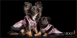 dressed to impress mother and daughter chihuahua crosses