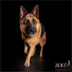 walking black and tan german shepherd boy