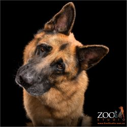 inquiring head tilt from german shepherd male dog