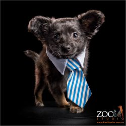 chihuahua cross puppy wearing blue and white collar and tie