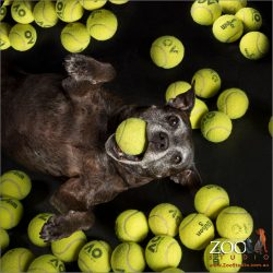 staffordshire bull terrier lying amoung heaps-o-tennis balls