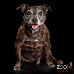 sitting and smiling brindle staffy girl