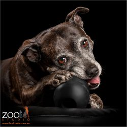 mature aged brindle staffordshire bull terrier with kong in mouth