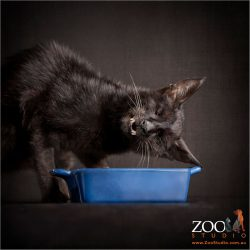 tiny black cat listening to his blue food bowl