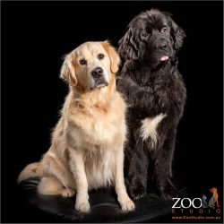 sitting pretty newfoundland with golden retriever