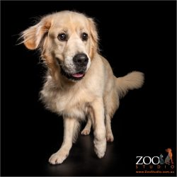 joyful male golden retriever