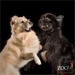 play wrestling dogs black newfoundland and golden retriever