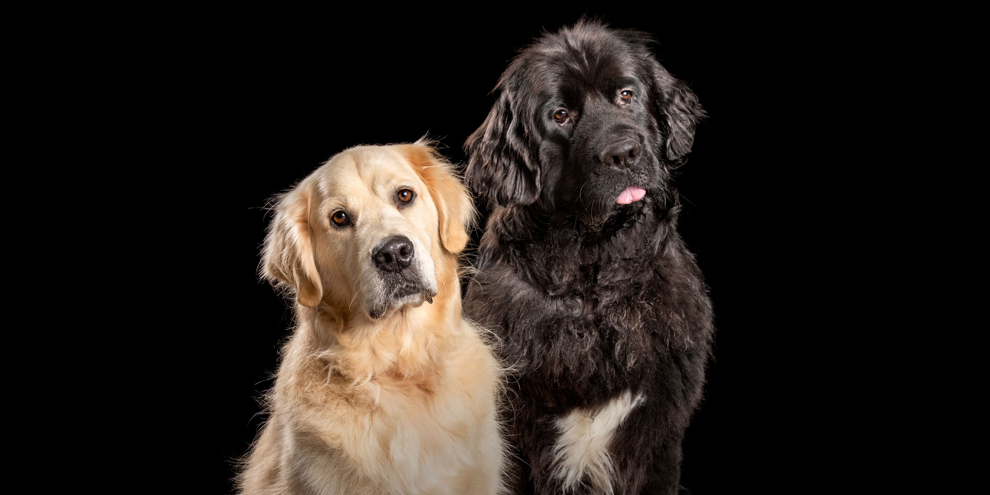 best fur-pals golden retriever boy and black girl newfoundland