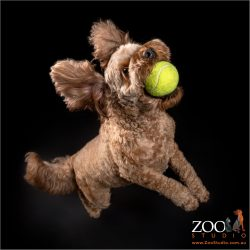 classic catch of tennis ball from cavoodle