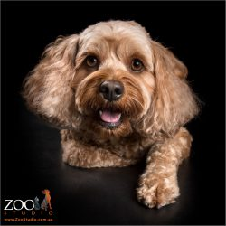 smiling faced red cavoodle girl