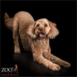 play bow from red female cavoodle