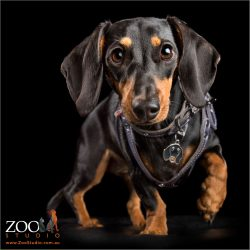 sassy dachshund girl stepping out