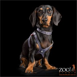 black and tan dachshund girl in elegant purple harness