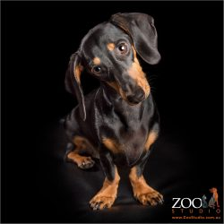 young dachshund girl head tilting