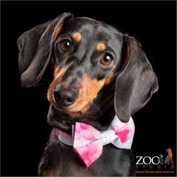 black and tan dachshund sporting pink and white tie