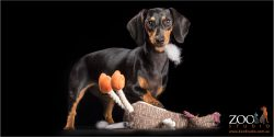 young dachshund girl caught with toy stuffing in mouth