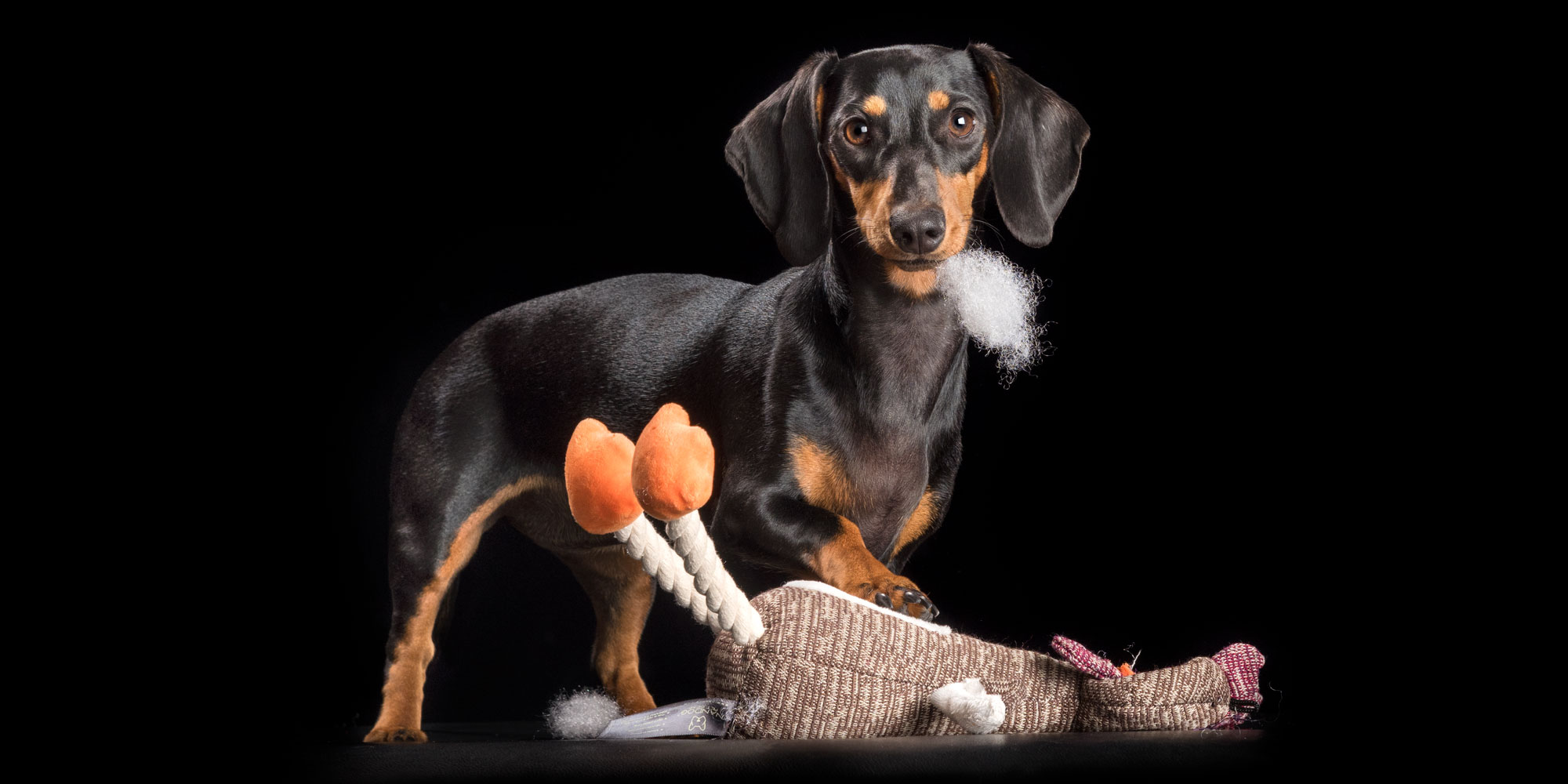 stuffed toy being unstuffed by dachshund girl