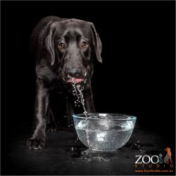 Young black labrador boy splashing in a bowl of water