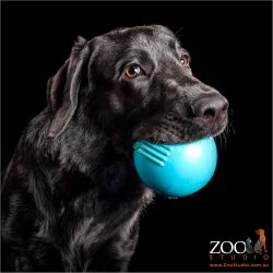 huge blue ball in mouth of male black labrador