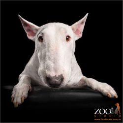 white male english bull terrier