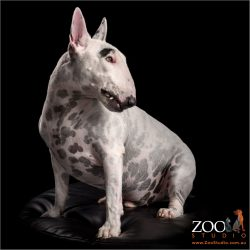 profile view of white english bull terrier showing snaggle tooth