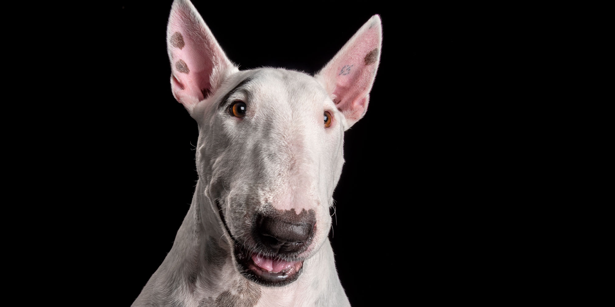 face close up of smiling white male english bull terrier