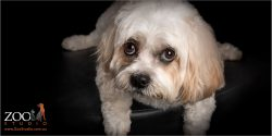 innocent look from male maltese cavvy cross