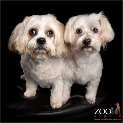 fur siblings white and tan maltese girl and maltese cavvy cross boy