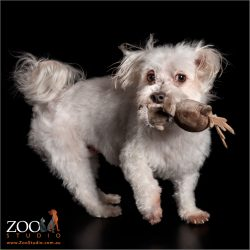 playful maltese girl with stuffed chicken in mouth