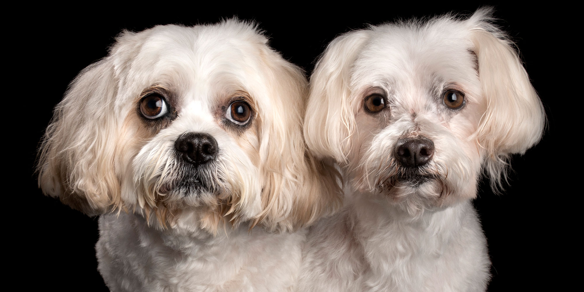 white and tan fur siblings maltese terrier girl and maltese cavalier cross boy