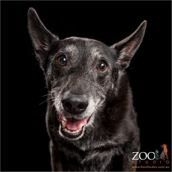 greying black kelpie cross boy with big smile