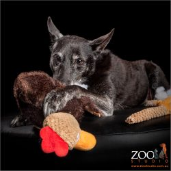 young at heart older black kelpie cross playing with toys