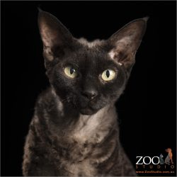 bright yellow eyed devon rex male cat