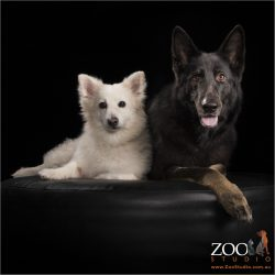 black and white fur-siblings male mixed breed and female belgian shepherd