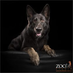 black female belgian shepherd in regal sit pose