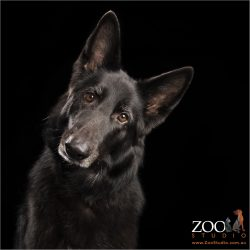 intelligent look from head tilting belgian shepherd girl