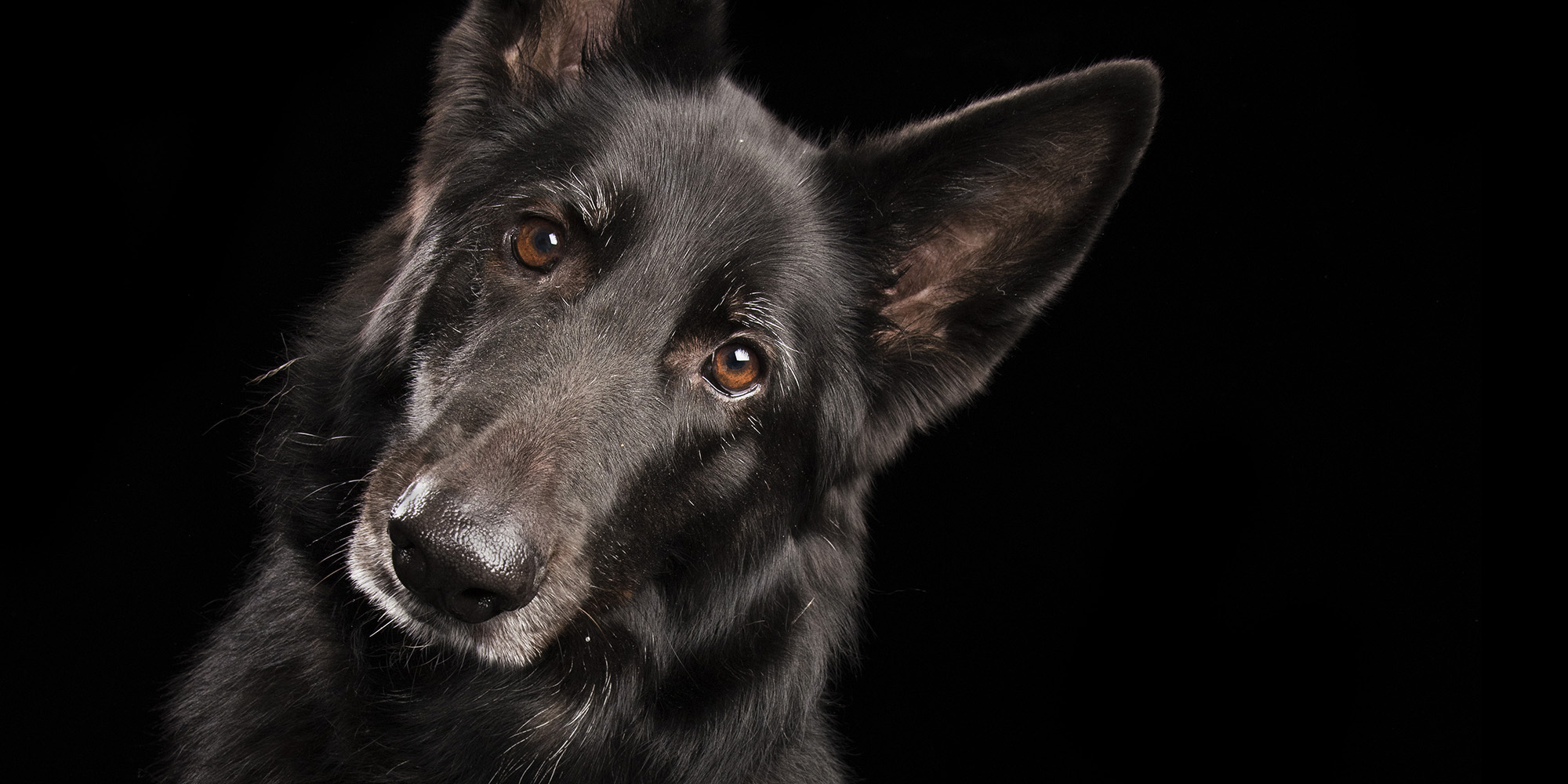 head tilt from black female belgian shepherd dog