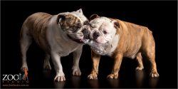 paid of british bulldogs playing tug of war with plastic bottle