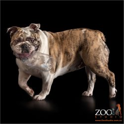 female british bulldog brindle and white