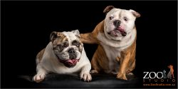 male british bulldog giving cuddle to fur-sister british bulldog