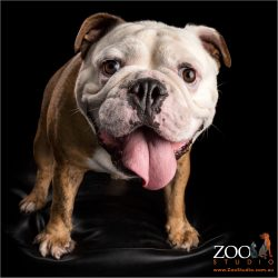 british bulldog boy with long tongue hanging out