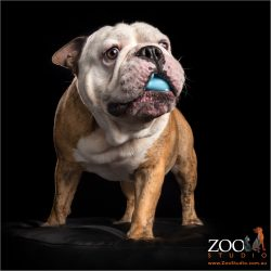 boy british bulldog with blue toy in mouth