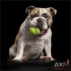 female british bulldog sitting with tennis ball in mouth