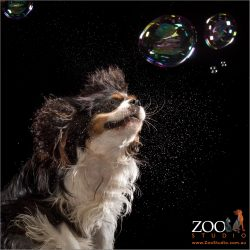 joyous bubble chasing from cavalier king charles spaniel girl