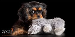 adorable cavvy puppy with toy in mouth