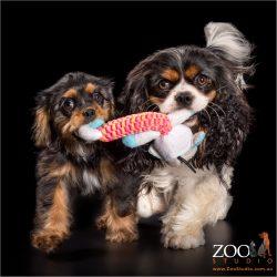 cavalier king charles spaniels fur-sisters pulling toy