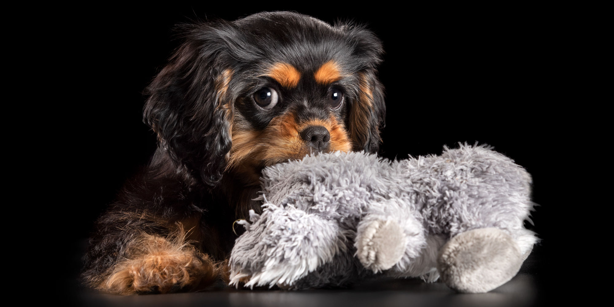 sweet faced cavvy puppy chewing on toy