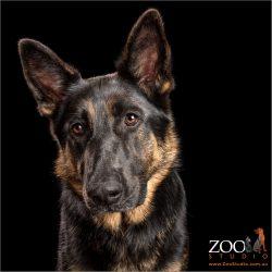 full face black and tan german shepherd girl