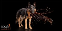 german shepherd girl with palm frond in mouth