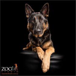 regal sitting pose from german shepherd girl